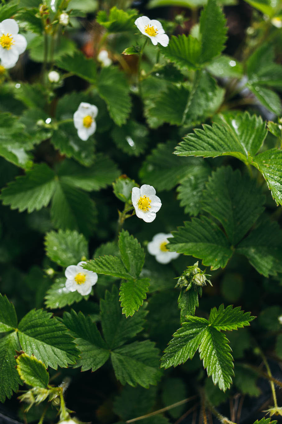 Strawberry plants with flowers.